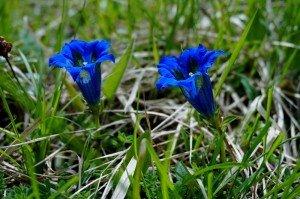 sortie ABC 22 Mai - gentiana angustifolia (2)